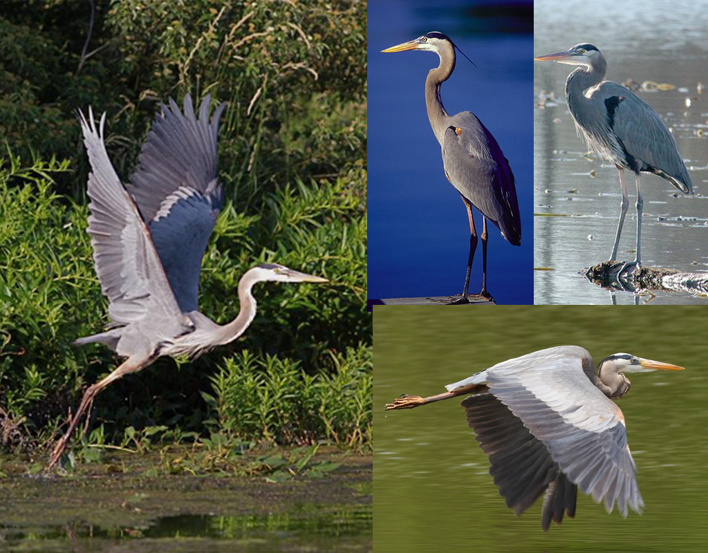 We collected a lot of reference photos of Blue Herons.